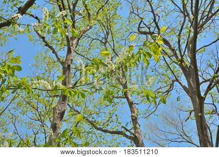 A close up of the branch of blooming bird-cherry tree.