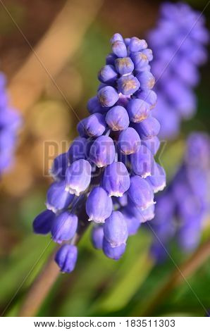 Closeup on a cluster of blue purple clusters of grape hyacinths