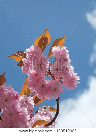 Pink cherry blossom in close up in spring blue sky and white cloud