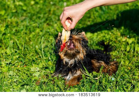 Beautiful Yorkshire terrier playing with a toy on a grass.