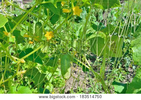 A close up of the cucumbers on garden-bed.