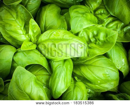 close up of original basil leaves from genoa home of pesto