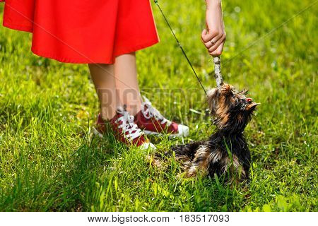 Man pulling stick from dog - small Yorkshire terrier. Summer park.
