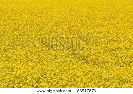 Yellow Field of Ripe Colza in Bulgaria