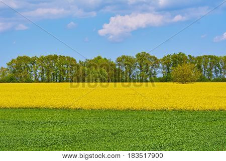 Field of Ripe Colza and Green Wheat