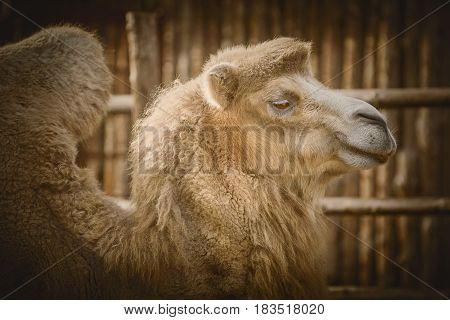 Close up Portrait of Camel over the Dark Background