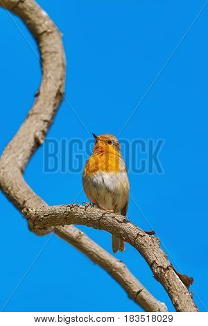 European Robin (Erithacus rubecula) Perching on a Branch of the Tree