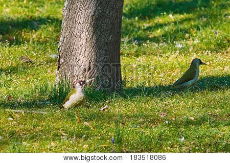 Two European Green Woodpeckers (Picus Viridis) in the Grass