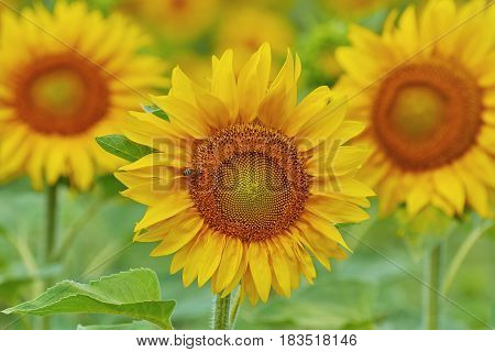 Blooming Yellow Sunflower with Bee on It