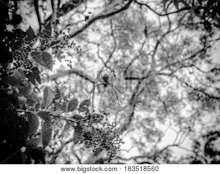 Black and white picture of a white Spider
