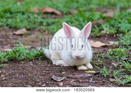 Close up White rabbit on the grass.