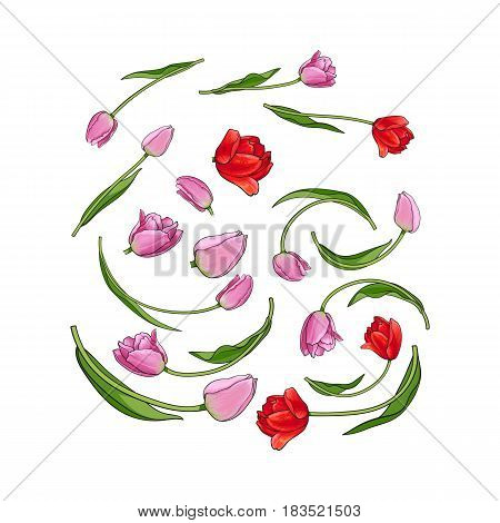 Hand drawn set of tulip flower elements, bud, blossoms, sketch style vector illustration isolated on white background. Realistic hand drawing of tulip flowers, blossoms, petals, decoration element
