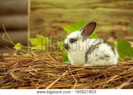 Cute rabbit small bunny domestic pet with long ears and fluffy fur coat sitting in natural hay and green leaves on blurred wooden background