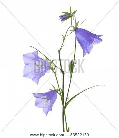 Bellflowers isolated on white. Campanula rotundifolia