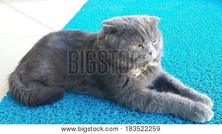 Cat, Scottish Fold genus, gray cute cat