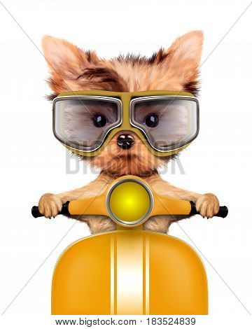 Funny adorable puppy sitting on a yellow motorbike and wearing aviator goggles, isolated on white. Delivery concept. Realistic 3D illustration of yorkshire terrier with clipping path