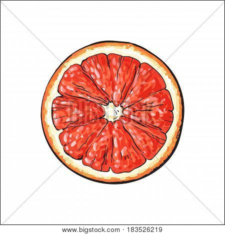 Top view round slice, half of ripe grapefruit, red orange, sketch style vector illustration on white background. Hand drawn grapefruit cut in half, round slice
