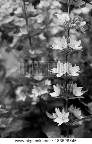 Sprig of loosestrife flowers against bokeh of colourful garden in summer. Scientific name - Lysimachia vulgaris.