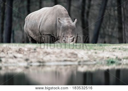 Grazing White Rhinoceros Near Pond In Zoo.