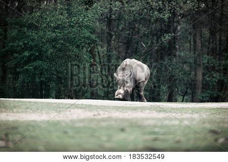 White Rhinoceros In Zoo Walking In Field.