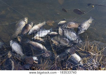 Dead fish floating on the edge of the pond-an environmental problem