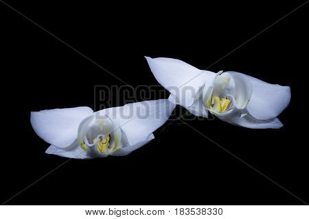 White two orchids in the dark like boy and girl.