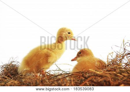 two nestlings of duck on white background