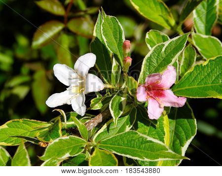 Flower, Variegated Weigela, pink and white, Spring.