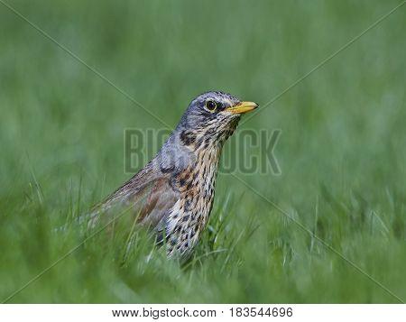 Fieldfare standing in grass in its habitat
