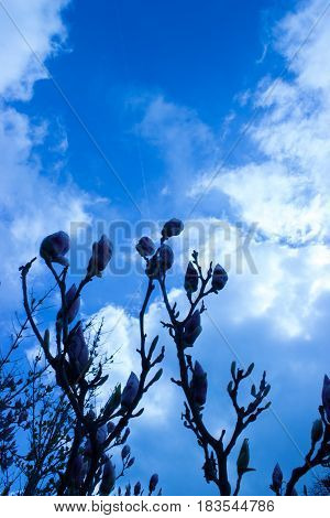 In the foreground are the first buds of magnolia in the background is blue sky with clouds and setting sun.