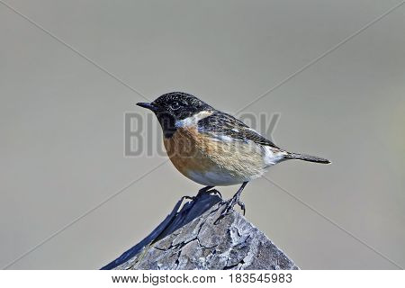 European stonechat resting on a tree trunk in its habitat