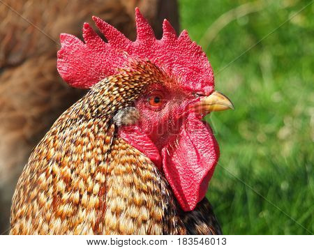 close up of a cockerel rooster head