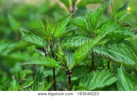 Stinging nettles with fresh green leaves in the sunlight