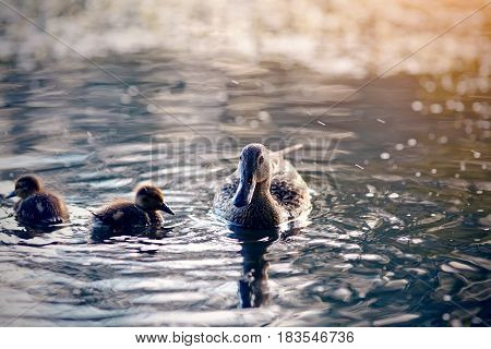 The duck with ducklings swims in the evening in the pond.