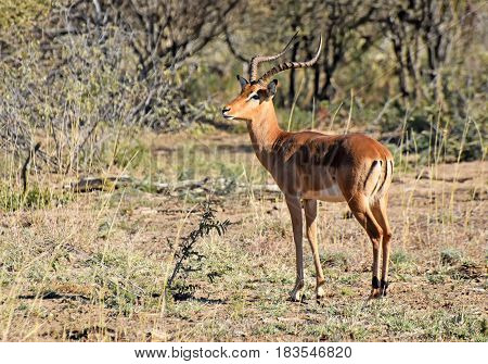 picture of an impala (gazelle) in Madikwe game reserve, South Africa.