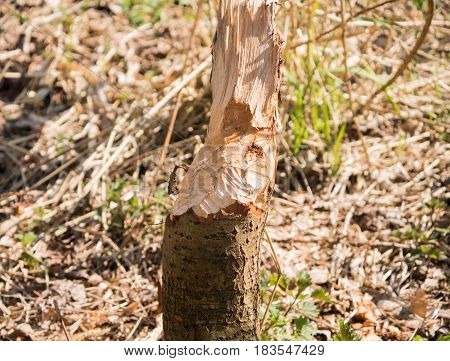 Tree shows the bite marks of a beaver
