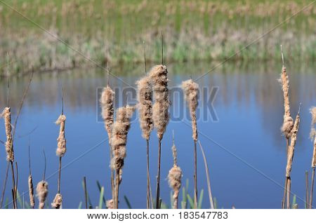 Fluffy cattail plants with seeds by a blue pond in the spring