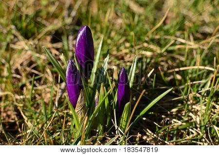 Purple dutch crocus flower buds emerging at first sign of spring