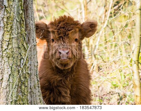 Scottish highland cow calf staring at camera