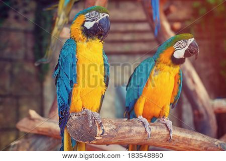 Parrots in the jungle. Blue-and-Yellow Macaw (Ara ararauna), also known as the Blue-and-Gold Macaw. Two birds sit on a tree branch in the jungle.