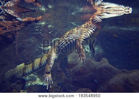 Crocodile in an aquarium in dark blue water. In the clear blue water floats the crocodile. Inhabitants of the underwater world. Crocodile on the hunt.