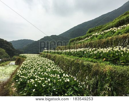Calla Lily (arum Lily) Flower Fields