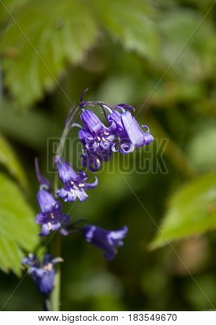 Native English Bluebell showing yellow pollen against foliage background.