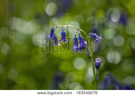 Native English Bluebells in woodland backlit by sun.