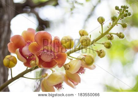 Cannonball Tree flowers (Couroupita guianensis) Sal flowersSal Tree