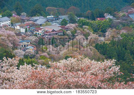 Cherry blossom on Yoshinoyama Nara Japan spring landscape.