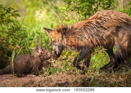 Red Fox Kit (Vulpes vulpes) Sniffs at Meat Held by Vixen - captive animals