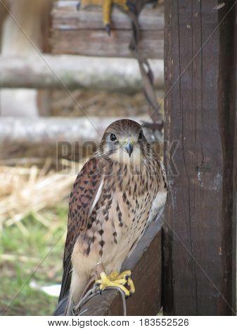 Kestrel ( Falco tinnunculus ) perched on a fence post