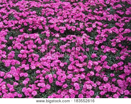 Natural background of purple carnation flowers .