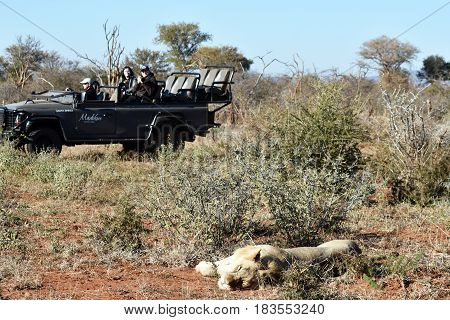 Madikwe game reserve, South Africa: July 9th 2016: Picture of a safari vehicle next to a sleeping lion.